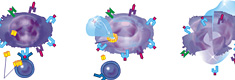 The destruction of tumor cells by T-lymphocyte