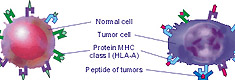 The antitumoral T-lymphocyte can bind with only the tumoral cell but does not bind with a normal cell